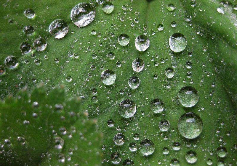 Lotuseffekt -Wassertropfen auf dem Frauenmantel