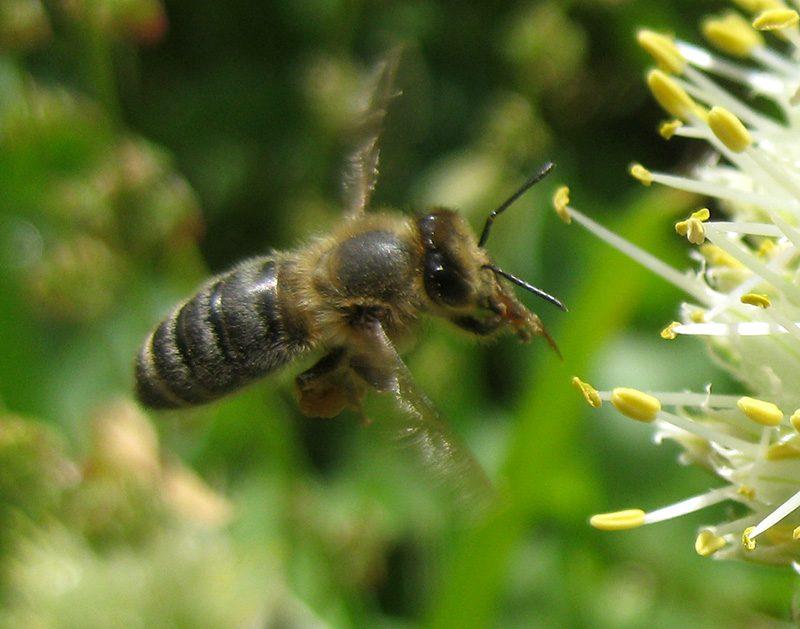 Makro Biene im Anflug auf Blüte