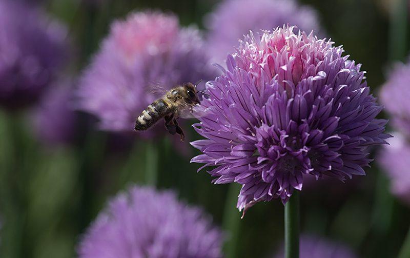 Makro Blüte vom Schnittlauch mit Biene