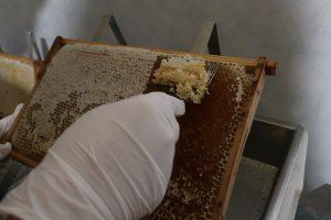 Entdeckeln der Zellen einer Waabe, Honig