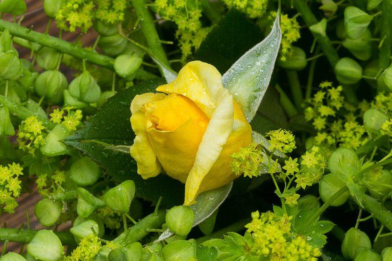 Gelbe Rose mir Samenstand der Hasenglöckchen