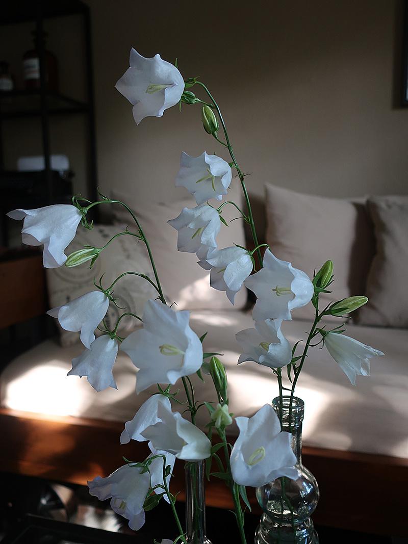 Glockenblume Campanula weiße Blumen