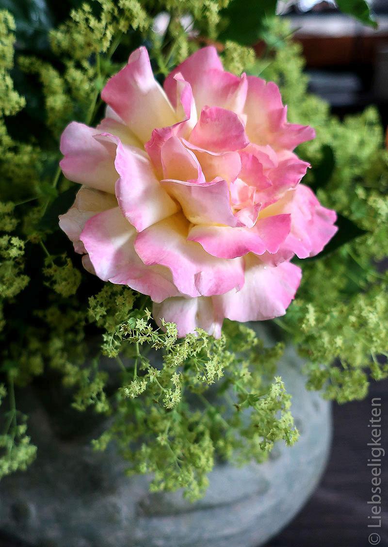 Gloria-Dei-Rosenblüte-Rose