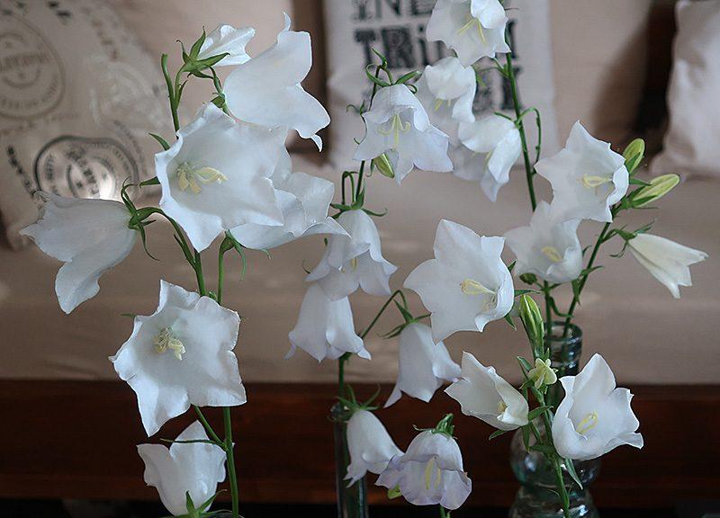 Grandiflora Alba weiße Glockenblume