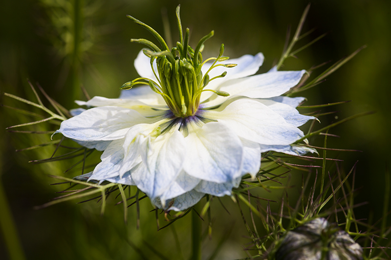 Makro Jungfer im Grünen Blume