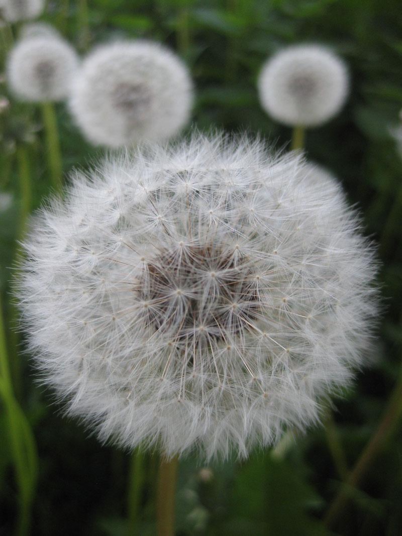 Blume Löwenzahn Samenstand