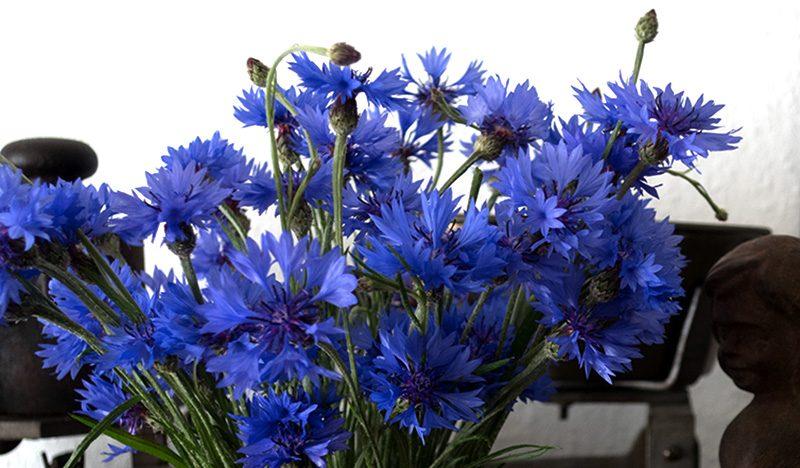 Blaue Kornblumen Kornblumenblau
