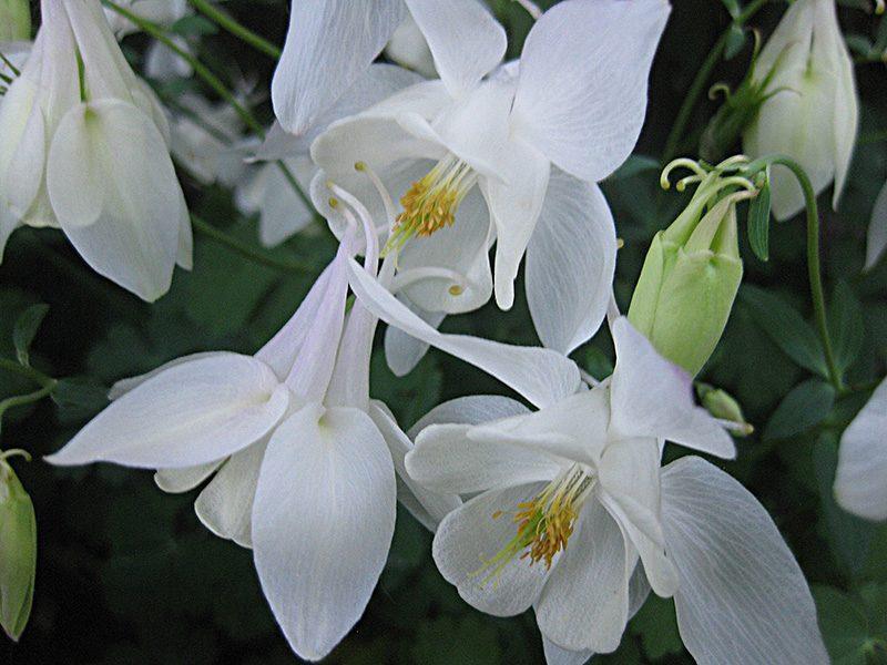 weiße Akelei