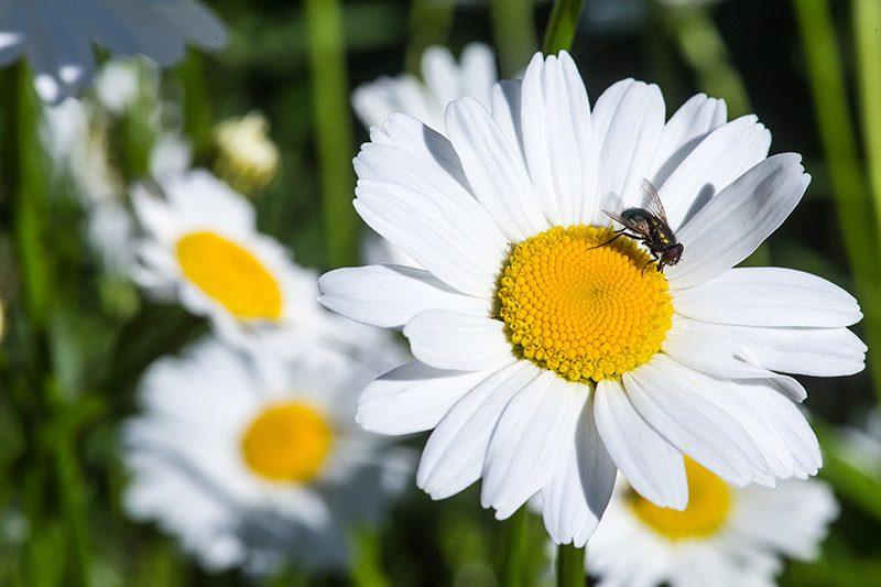 weiße Margerite mit Fliege