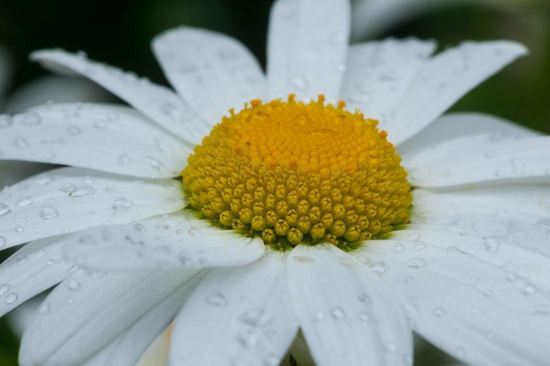 Blüte der weißen Margerite mit Regentropfen