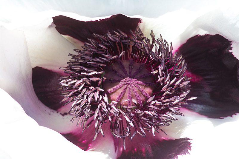 weiße Mohnblume Samenstand Türkischer Mohn