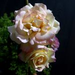 zwei Blüten der Gloria Dei Rose