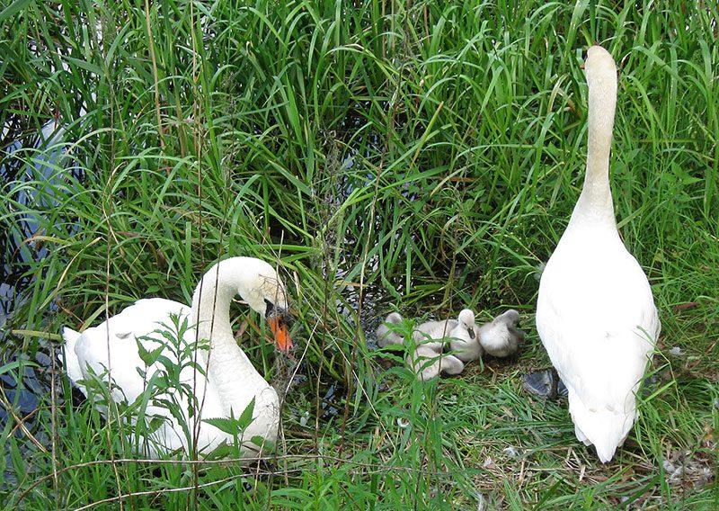 Schwanenfamilie - Schwäne mit ihren Jungen