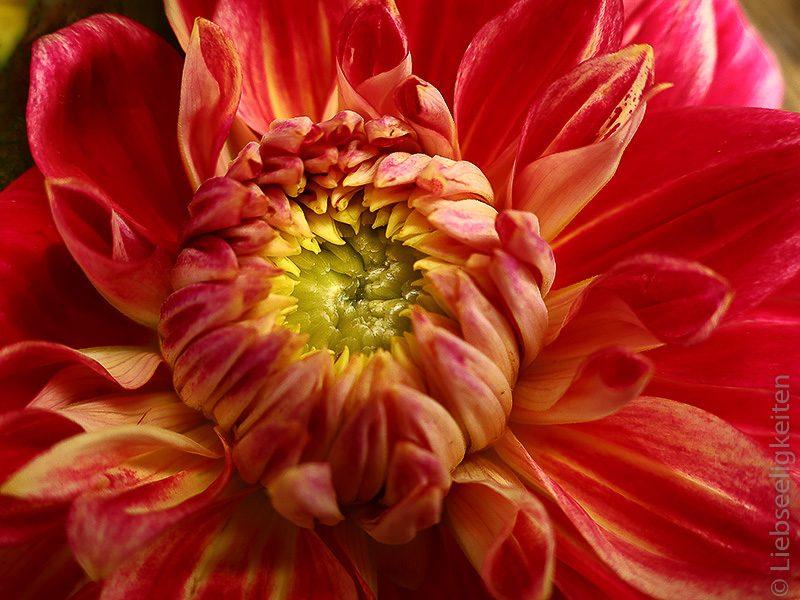 Blume - Dahlie -Dahlienblüte 4
