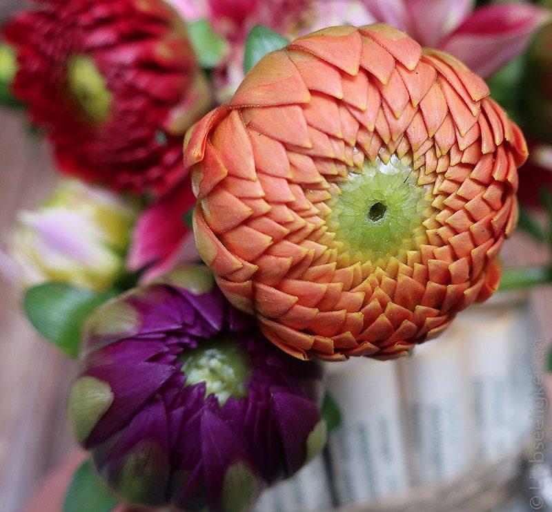 Blume - Dahlien -2