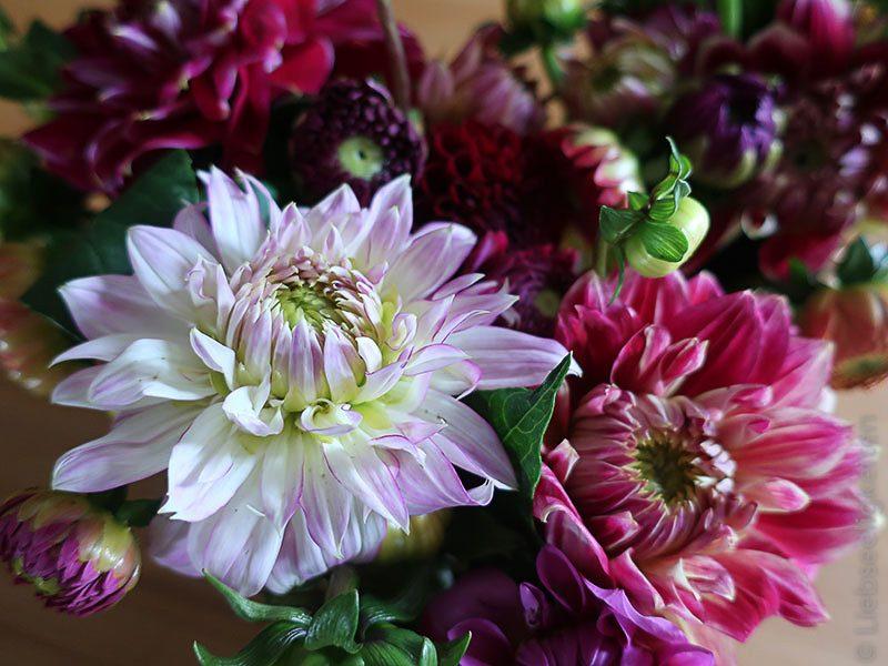 Blume - Dahlien - 8