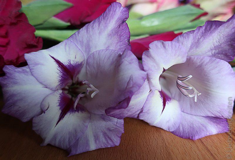 Blumen - Gladiolen - Blüten - lila Gladiolenblüten