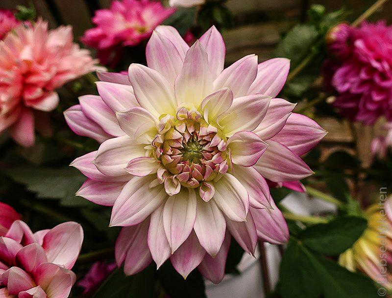 Dahlienblüte Blumenstrauß Dahlien