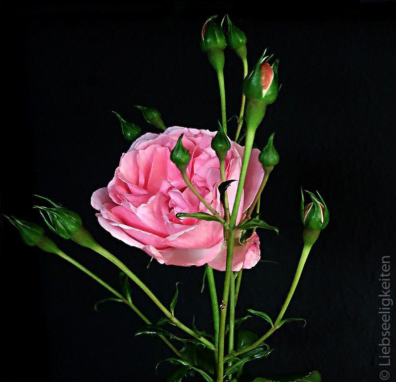 Geöffnete Blüte einer Rose und Rosenknospen - Rose - Rosenblüte