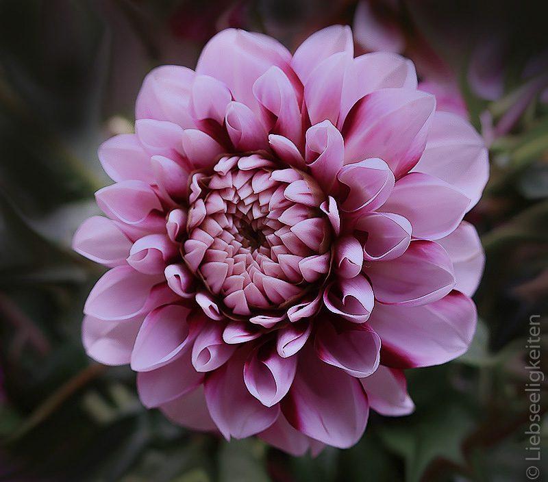 Lila Dahlie Dahlienblüte mehrfarbig