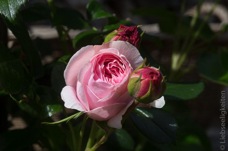 Rose - Rosenblüten der Kletterrose Giardina