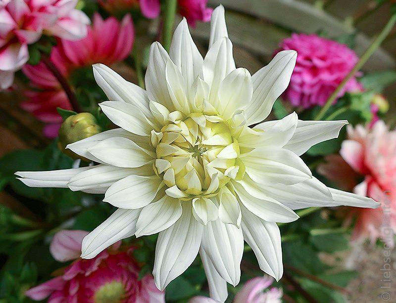 weiße Dahlie Dahlienblüte