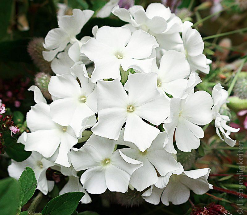 Blüte weißer Phlox