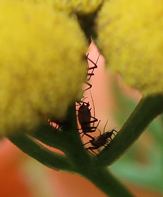 Blume voller Käfer - Wiesenblume -Rainfarn mit Käfer
