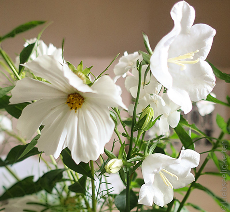 Cosmea - Glockenblumen