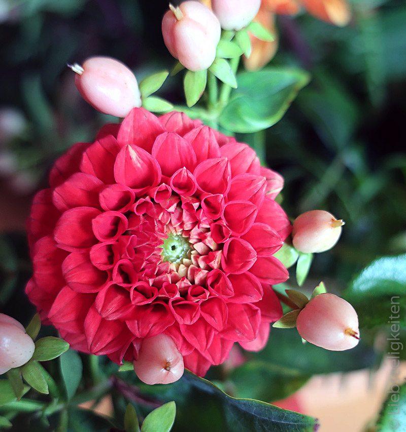 Rote Dahlie - Dahlienblüte