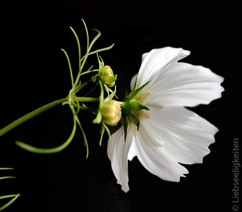 weiße Cosmea - Schmuckkörbchen