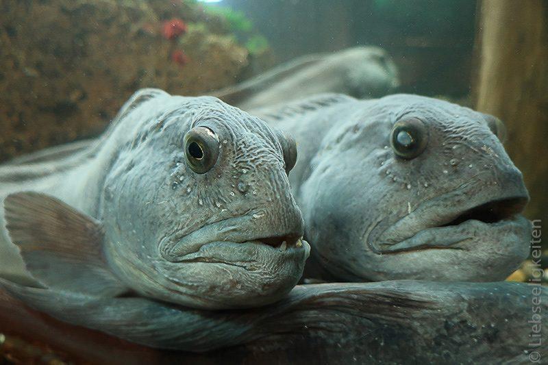 Seewolf - Fische - Aquarium Thyborøn