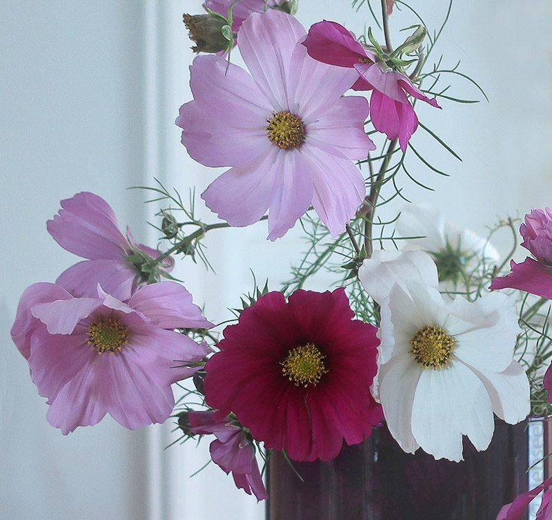 Blüten der Cosmea - Schmuckkörbchen