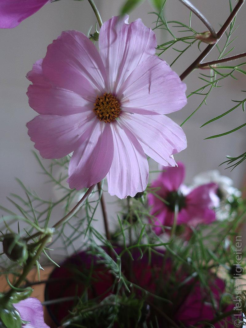 Rosa Blüte der Cosmea