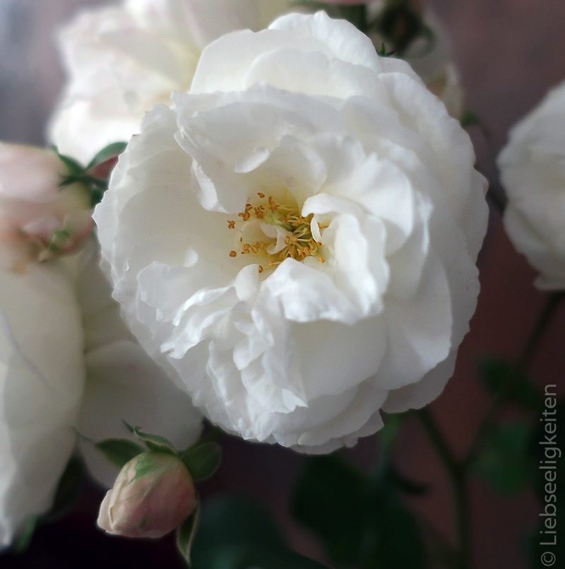 Rosenblüte - weiße Rosenblüte - Rose Schneewittchen