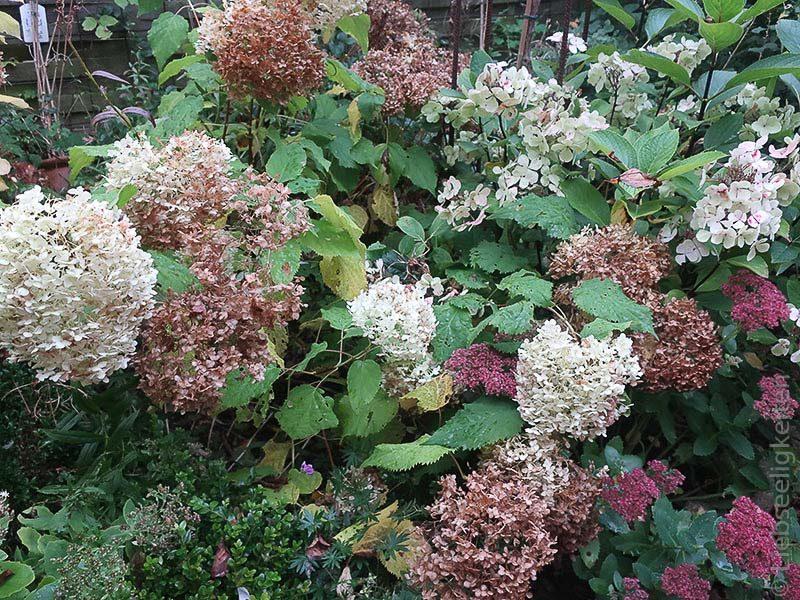 Vertrocknete Blüten der Hortensie Annabelle