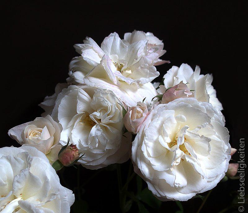 weiße Rosen - Rose Schneewittchen
