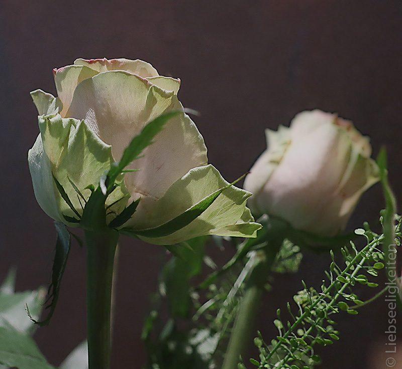 Edelrose - rosenblüte -