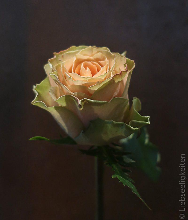 Rose - Rosenblüte - lachsfarbene Rose - edelrose