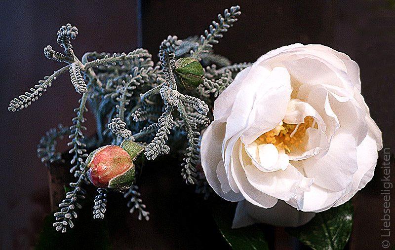 rosenblüte schneewittchen - blumen - friday-flowerday -