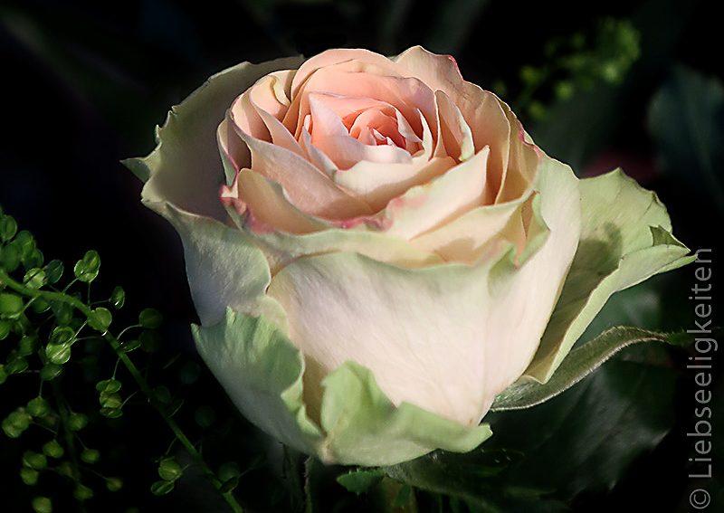 rosenblüten---blumen---edelrose---lachsfarbene-Rose