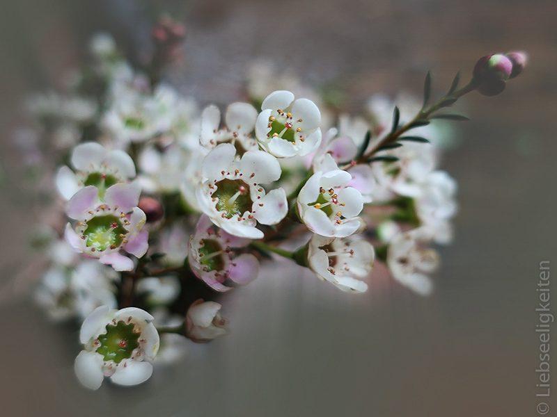 blüten der wachsblume