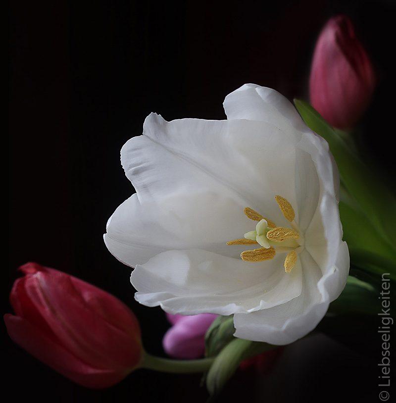 weiße Tulpenblüte
