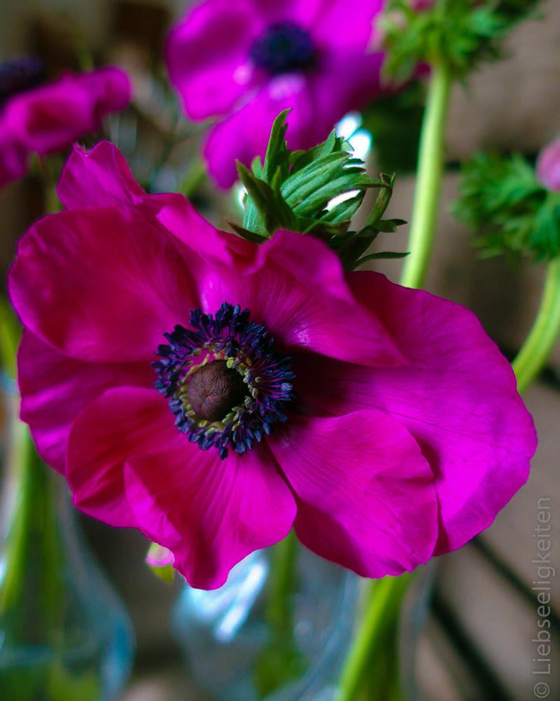 pinke anemonen - anemonenblüte