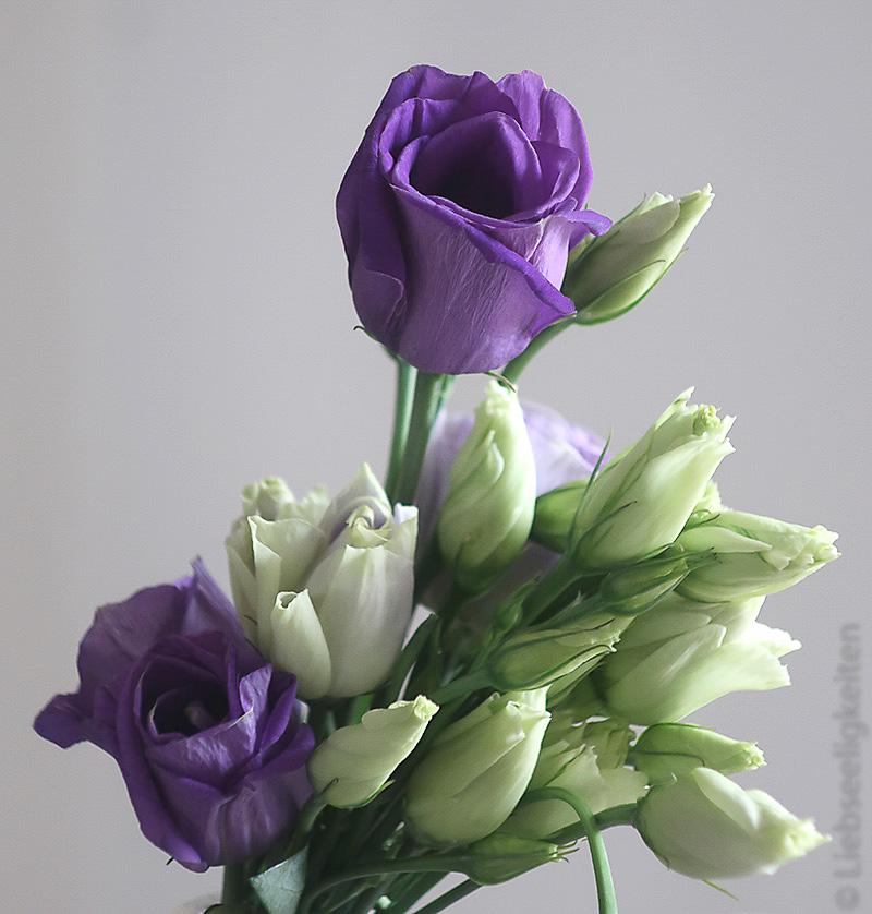 violetter Prärieenzian mit vielen geschlossenen Blüten