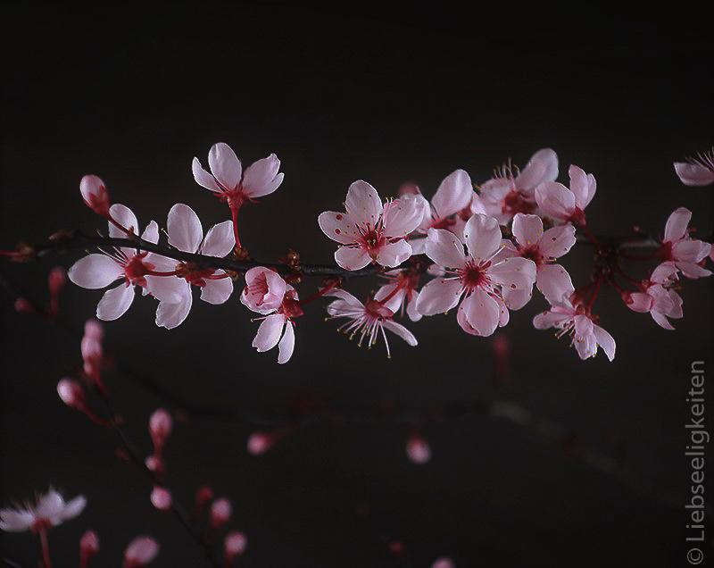 Blutpflaume - Blüten der Blutpflaume