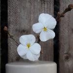 Hornveilchen - weiße Blüten von Hornveilchen