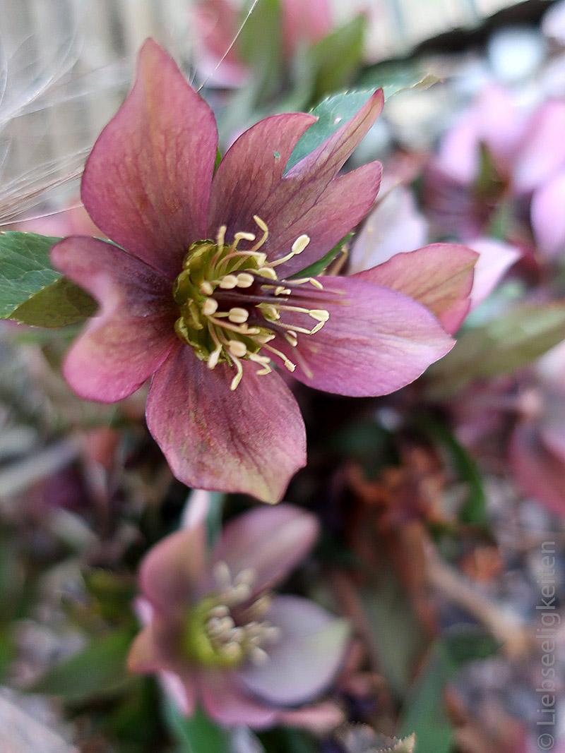 Blüte Lenzrose