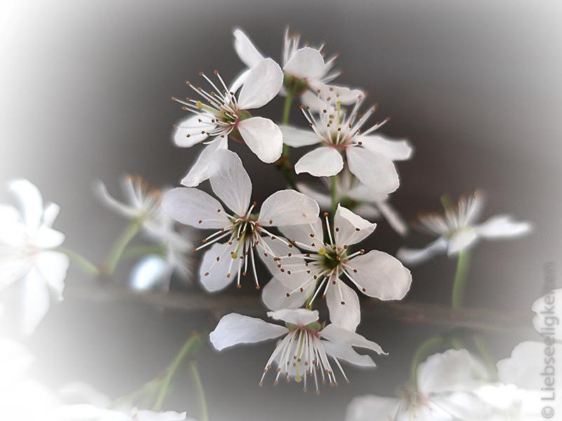 Blüten des Schlehdorns