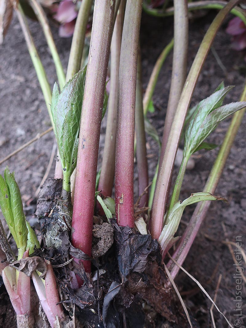 Kompostfund - Lenzrosen und Bauernrosen